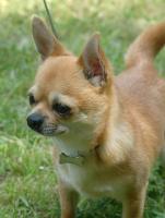 Foto 3 Chihuahua Zuchtreduzierung