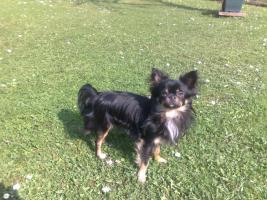Chihuahua deckrüdengemeinschaft