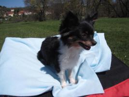 Foto 3 Chihuahua deckrüdengemeinschaft