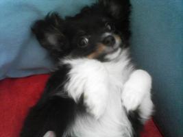 Foto 4 Chihuahua deckrüdengemeinschaft