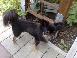 Foto 6 Chihuahua deckrüdengemeinschaft