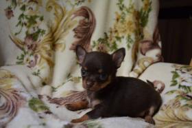 Chihuahua kurz- und langhaarig, verschiedene Farben