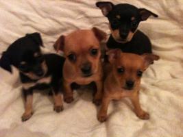 Foto 8 Chihuahua-pinscher Welpen abzugeben !