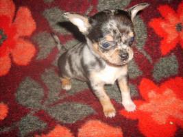 Chihuahua schöne Welpen