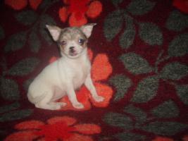 Foto 3 Chihuahua schöne Welpen