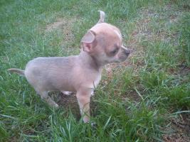 Foto 4 Chihuahua welpe mit FCI