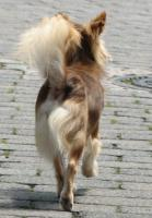 Foto 4 ChihuahuaDECKRÜDE 1,8 kg schoko-rot-HUSKY mit Ahnentafel ZTP