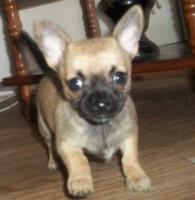 Chihuahua, Kurzhaarhündin
