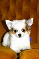 Chihuahua - LH Hündin mit FCI Papieren