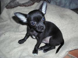Chihuahuababy sucht ein neues Zuhause !!!