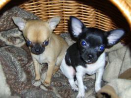 Chihuahuababys abzugeben !!!
