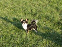 Chihuahuahündin, LH, typvoll, 4 Jahre alt