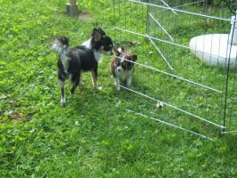 Foto 3 Chihuahuahündin, LH, typvoll, 4 Jahre alt