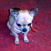 Foto 2 Chihuahuamädchen