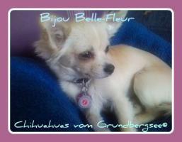 Chihuahuas vom Grundbergsee©
