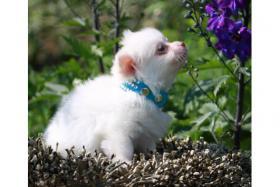 Chihuahuas in Kurz- und Langhaar mit Ahnentafel/Stammbaum!