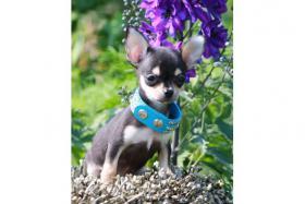 Foto 2 Chihuahuas in Kurz- und Langhaar mit Ahnentafel/Stammbaum!