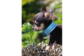 Foto 3 Chihuahuas in Kurz- und Langhaar mit Ahnentafel/Stammbaum!