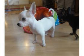 Chihuahuas mit Stammbaum/Ahnentafel abzugeben!