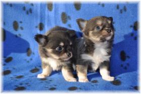 Foto 3 Chihuahuas mit Stammbaum/Ahnentafel abzugeben!