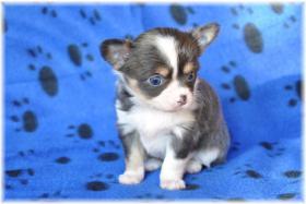 Foto 4 Chihuahuas mit Stammbaum/Ahnentafel abzugeben!