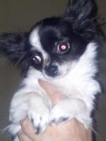 Chihuahuawelpe Hünden Langhaar