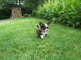 Foto 2 Chihuahuawelpe in dkl.schoko mit Papieren