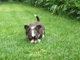 Foto 4 Chihuahuawelpe in dkl.schoko mit Papieren