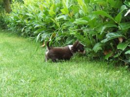 Foto 5 Chihuahuawelpe in dkl.schoko mit Papieren