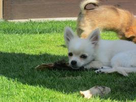 Foto 2 Chihuahuawelpe langhaar Welpen
