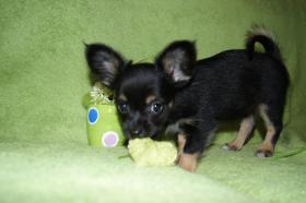 Foto 4 Chihuahuawelpen