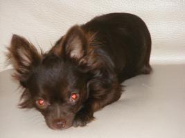 Foto 6 Chihuahuawelpen