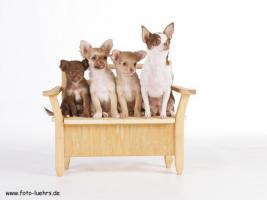 Foto 3 Chihuahuawelpen