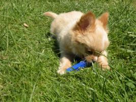 Foto 2 Chihuahuawelpen aus VDH/VK Zucht zu Verkaufen