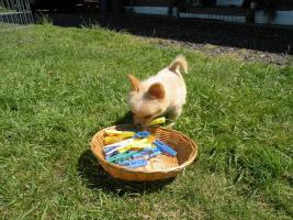 Foto 3 Chihuahuawelpen aus VDH/VK Zucht zu Verkaufen