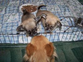 Foto 2 Chihuahuawelpen ab mitte August abzugeben