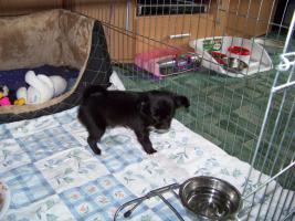 Foto 3 Chihuahuawelpen ab mitte August abzugeben