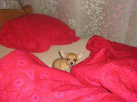 Foto 3 Chihuahuawelpen abzugeben