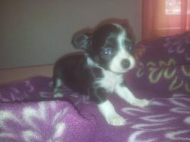 Foto 2 Chihuahuawelpen aus seriöser Liebhaberzucht