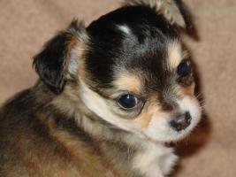 Chihuahuawelpen suchen ein neues liebevolles Zuhause!