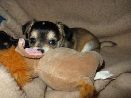 Foto 3 Chihuahuawelpen suchen ein neues liebevolles Zuhause!