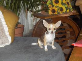 Foto 2 Chihuahuawelpen, Chiwawa, Chiwawazüchter hunde