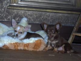 Foto 4 Chihuahuawelpen, Chiwawa, Chiwawazüchter hunde
