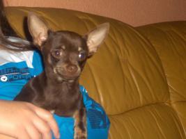 Foto 3 Chihuahuawelpen, Chiwawawelpen