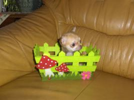 Chihuahuawelpen, Chiwawawelpen, Chiwawazüchter