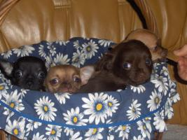 Foto 3 Chihuahuawelpen, Chiwawawelpen, Chiwawazüchter