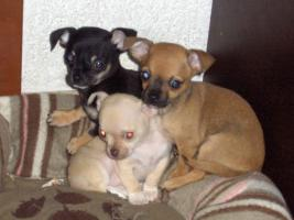 Foto 5 Chihuahuawelpen, Chiwawawelpen, Chiwawazüchter