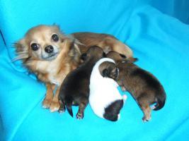 Foto 5 Chihuahuawelpen, LH, supersüße Rüden mit Ahnentafel