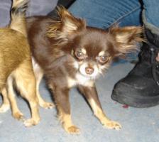 Foto 6 Chihuahuawelpen, LH, supersüße Rüden mit Ahnentafel