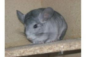 Foto 3 Chinchilla Böckchen Dringend!!!!